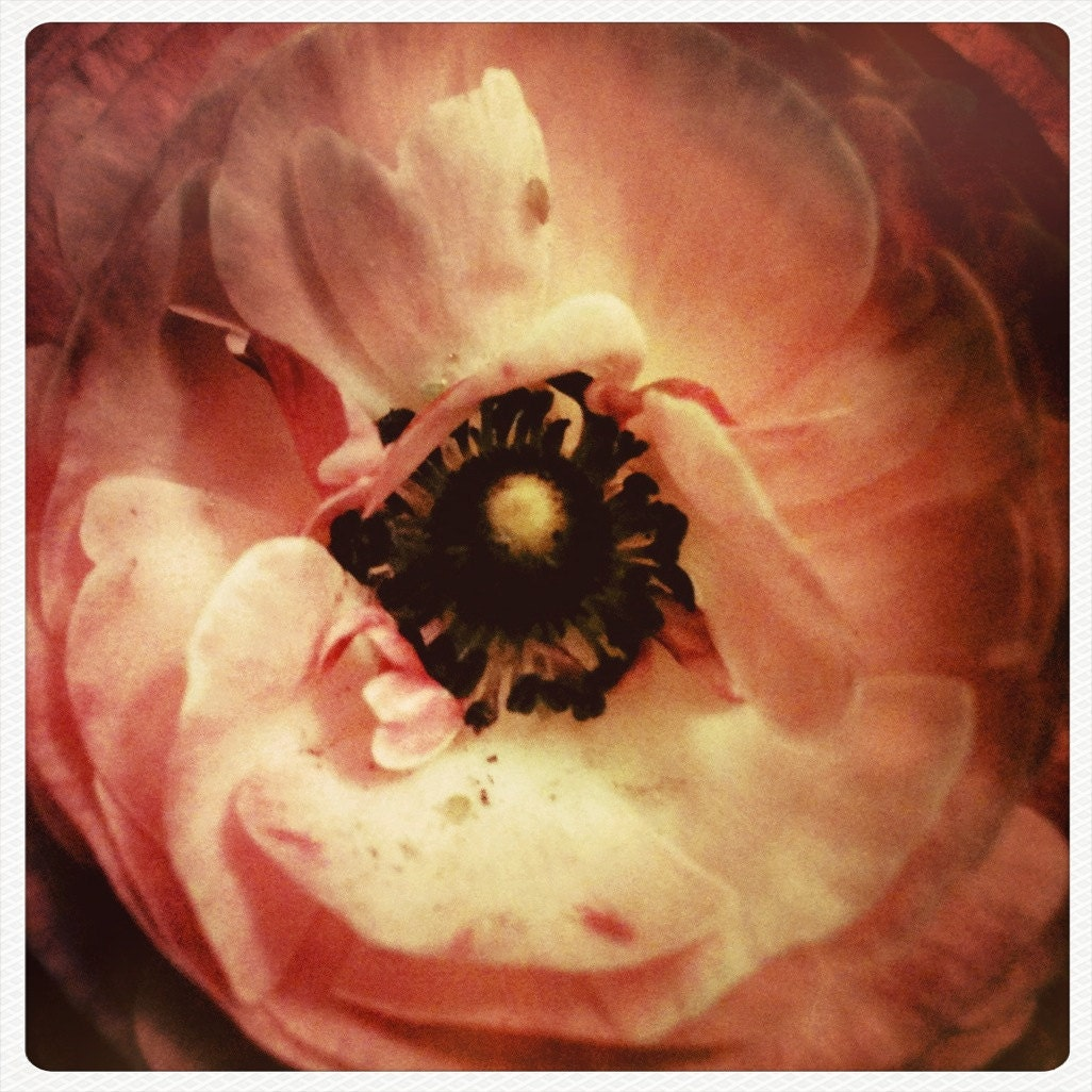 Don't be Ranunculus....Hipstamatic Original Photo