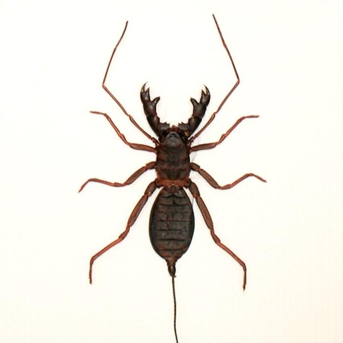 What bug looks like a scorpion 11