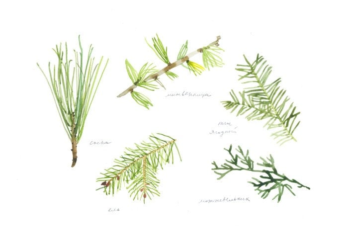 coniferous trees (pine, spruce, larch, yew and juniper) poster or large watercolor postcard