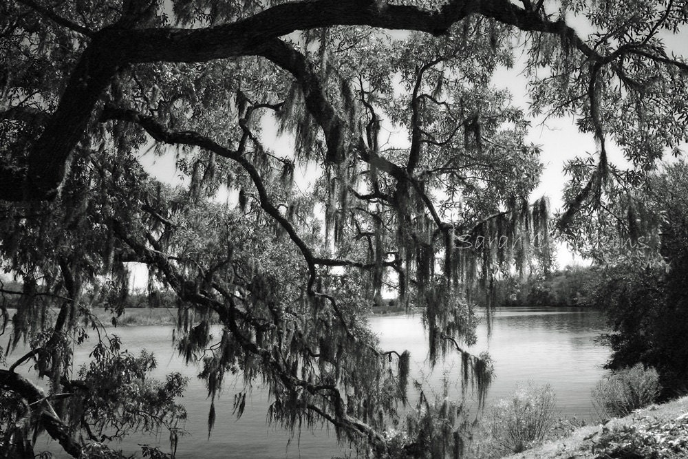 Moss on the Live Oak Fine Art B&W photography 8x10 matted IN STOCK Charleston SC Magonlia Plantation Ashley River mysterious southern trees - SCPerkinsPhotography