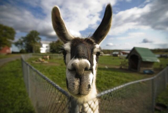 FIDO - 4 x 6 fine art photography print of a happy llama