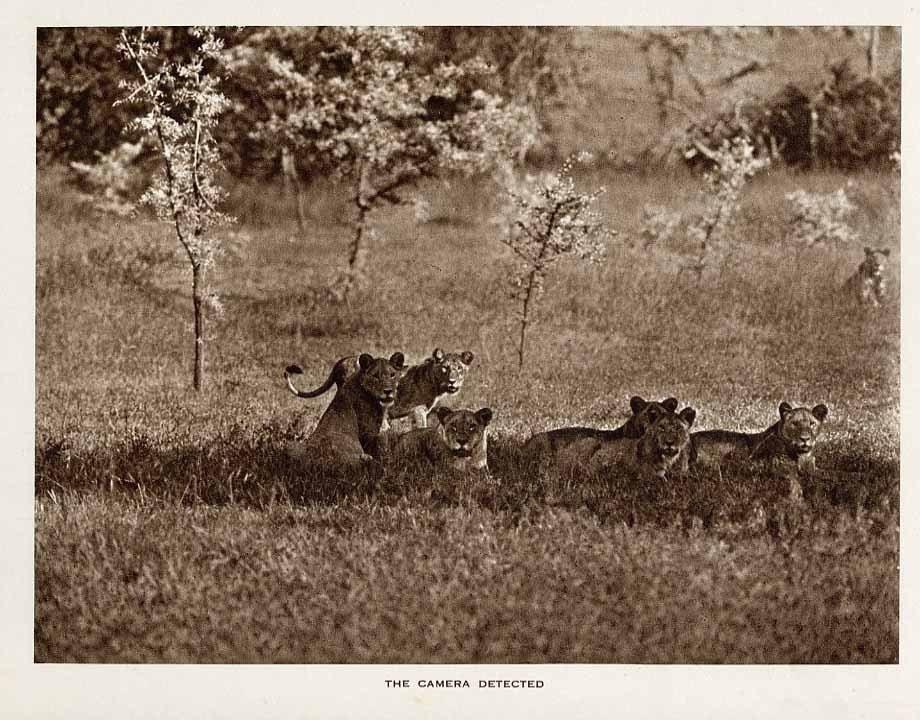 Antique Safari Lion Troop Photo Rotogravure 1920