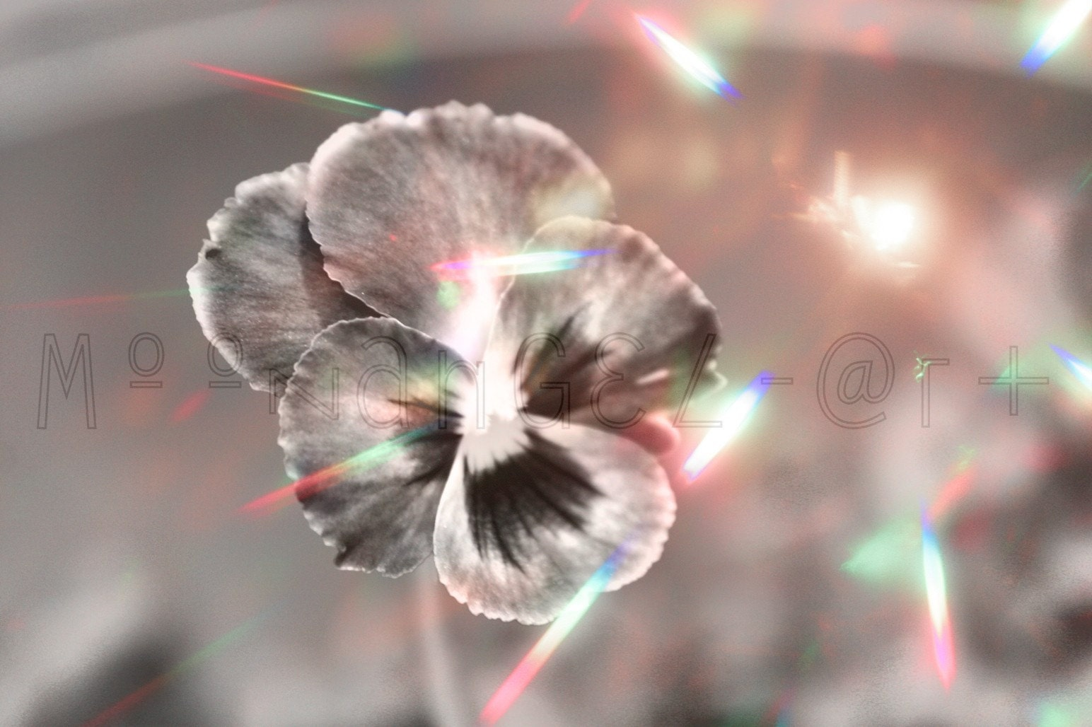 Pansy Spray 5x7 Inch Archival Print.  Black and white, with hints of pink and rainbow colours. Light bursts forth from a promising bloom