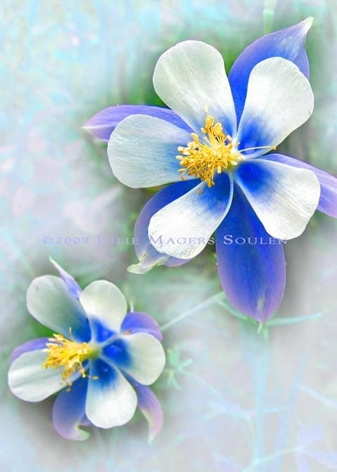 blue columbine fine art photo