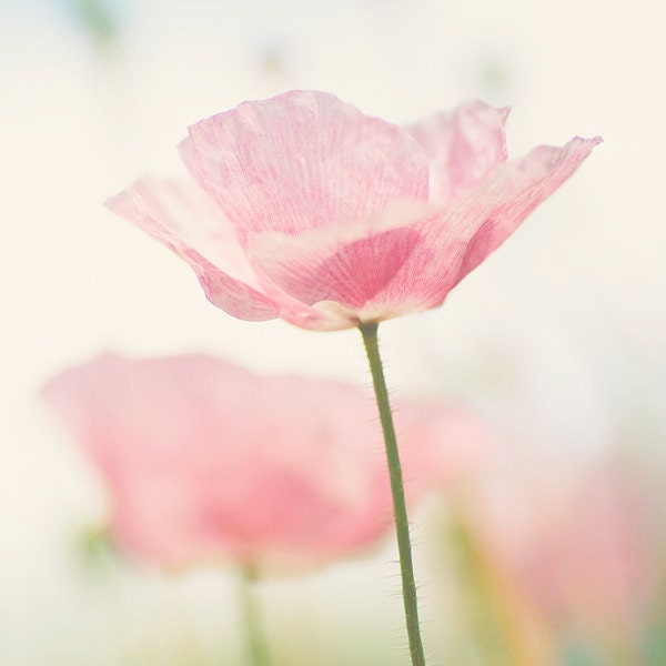 Pastel poppy photography -  romantic fine art print - pink green wall decor spring flowers macro photography - photographybykarina