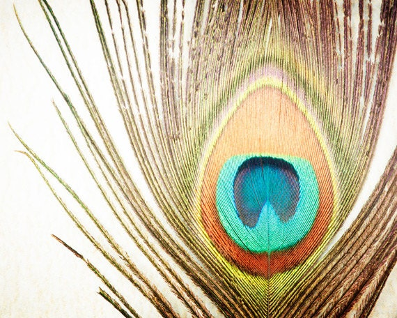 "Feather Photography - peacock photo nature still life print brown orange teal aqua beige - 8x10 Photograph, ""My Fine Feathered Friend"" - CarolynCochrane"