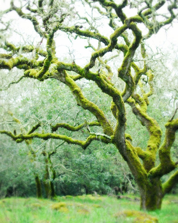 photo of magical forest of moss covered gnarly trees in emerald green