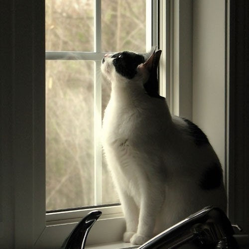 black and white kitty cat. lack and white kitty cat