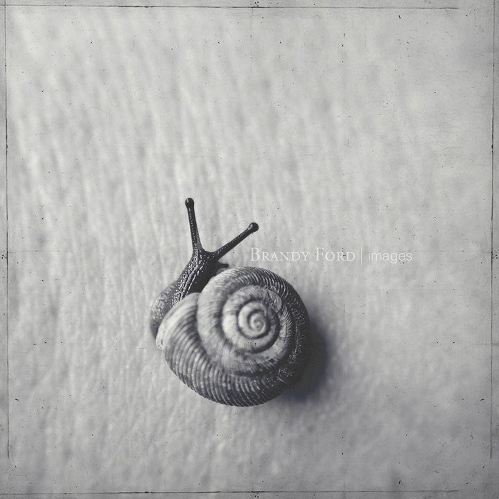 Snail Photo, B&W, Land Snail, Spiral, Black and White, Nature, 5x5 Fine Art Print, Fpoe
