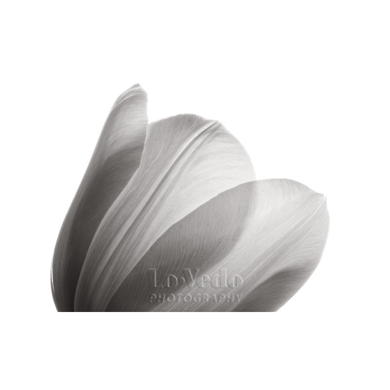 Black and White Photo White Tulip Translucent Petals Home Decor 8x12 Small Print Macro Photography