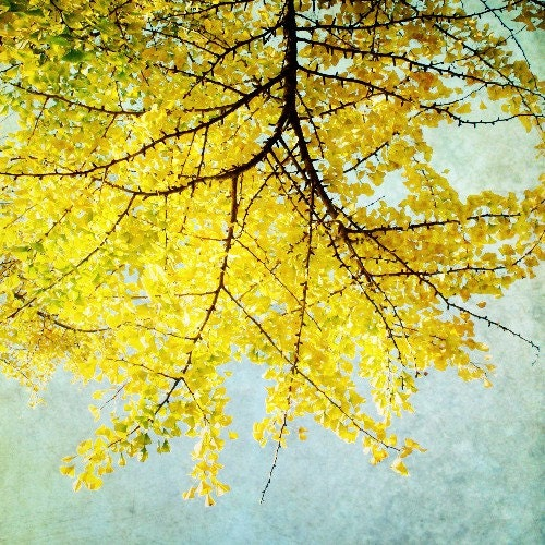 Ginkgo - Art Photography print  - Lemon citrus yellow leaves Japanese tree branches autumn color pale blue sky - 8x8  BOGO sale
