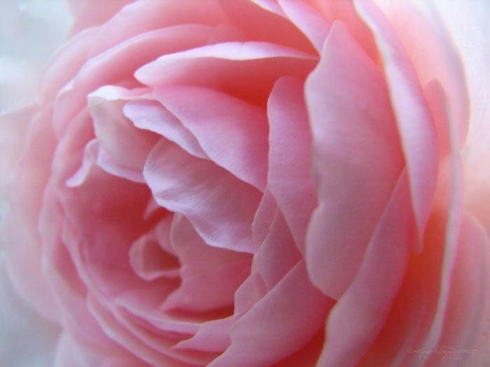 Blush - Pink Rose Macro Metallic Art Print 8x10