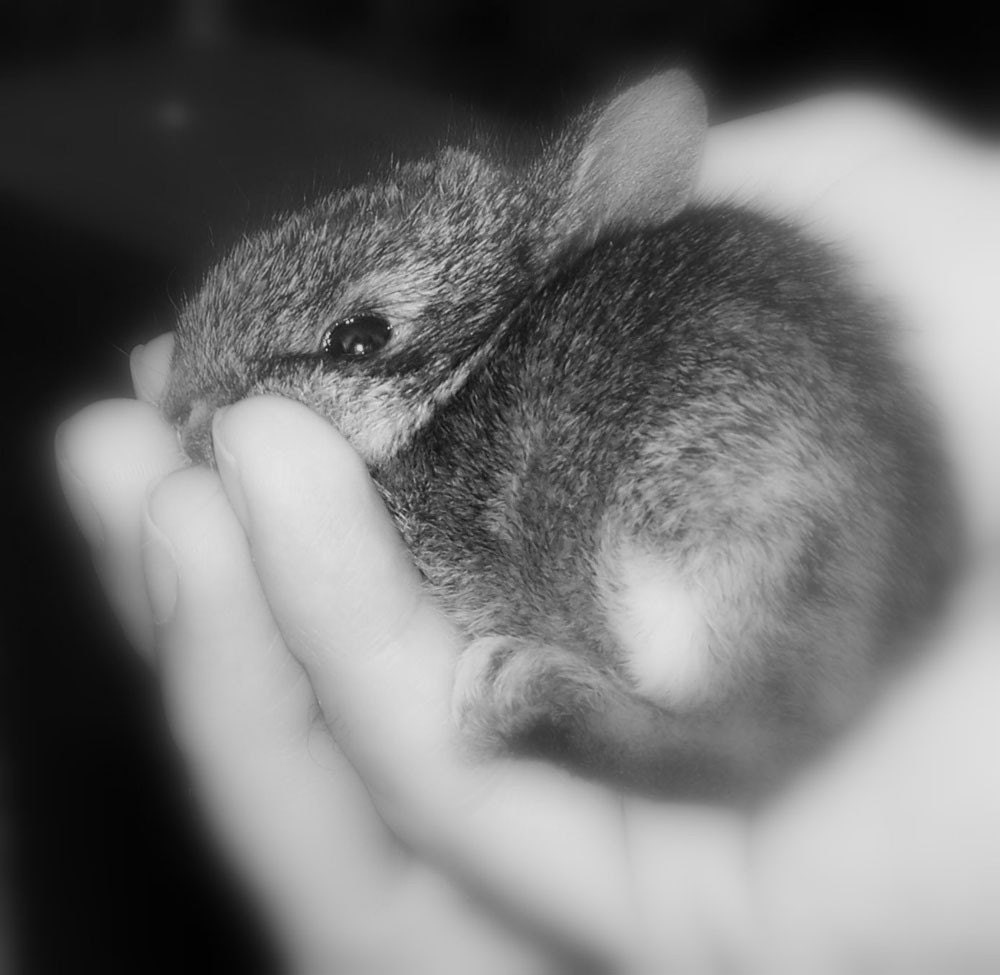 Photo of baby rabbit in child's hand.
