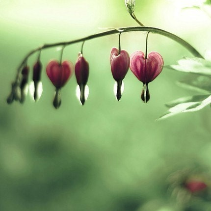 Be still my heart-romantic valentines day.  a line of pastel pink bleeding hearts above a sea of lime green bokeh - a romantic photograph - a fine art flower print (8x8)