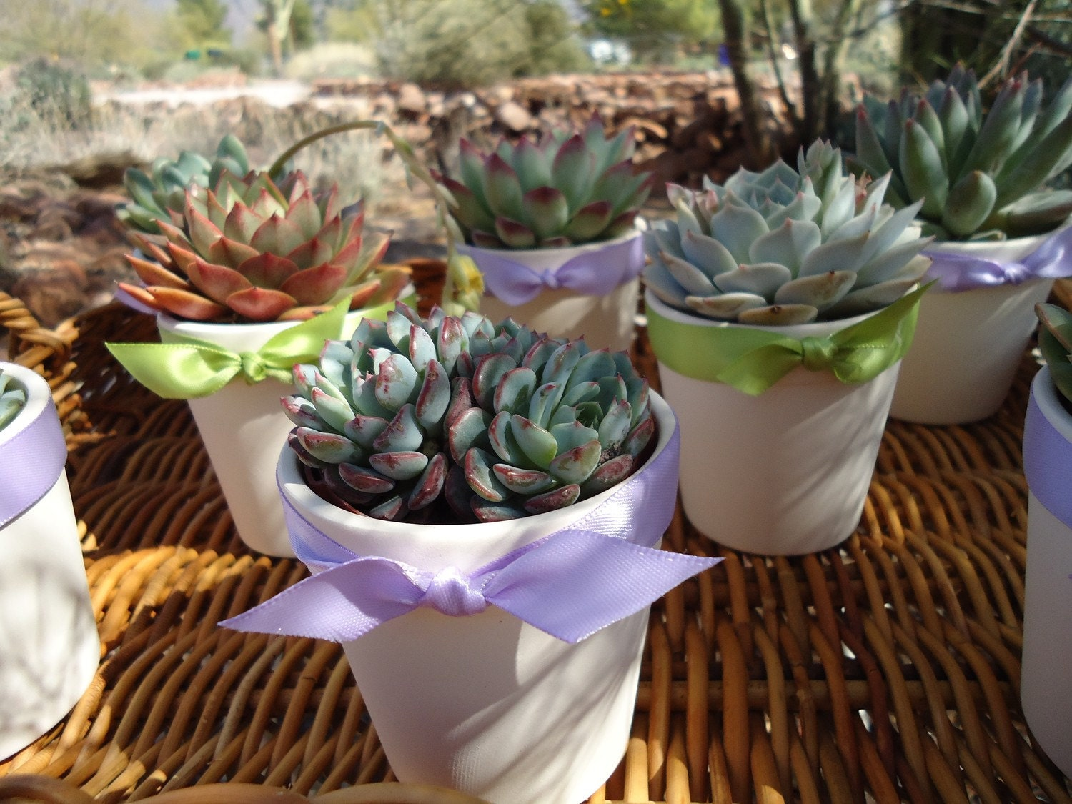 24 Succulent Rosette Favors in White Ceramic Pots for Baby or Bridal Shower, Party Gifts