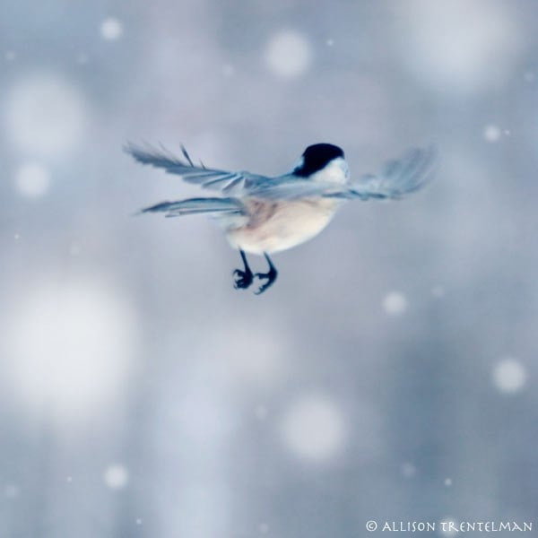 BOGO SALE - Little Feet - 5x5 fine art photography print of cute little bird in flight on a snowy winter day