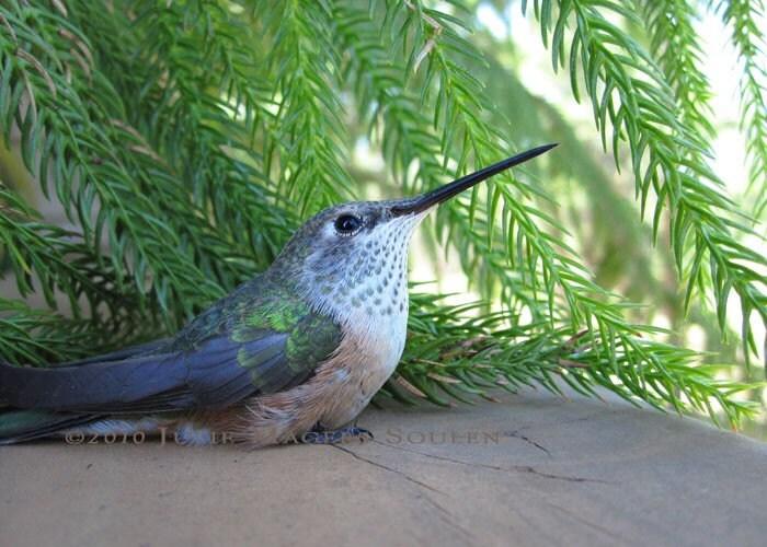 Bird Photo -FREE SHIPPING -Hummingbird Repose -5x7 Photograph