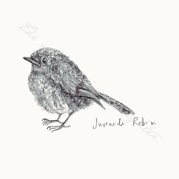 Field Notes on British Birds - Juvenile Robin - Birdwatching PRINT