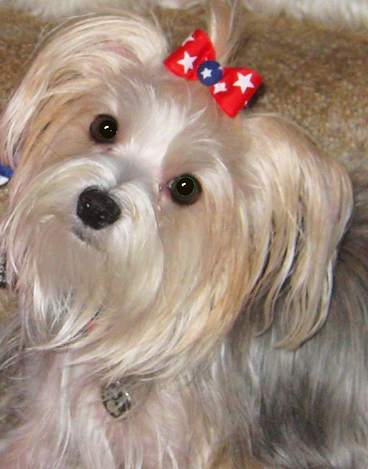 TOP KNOT BOW FOR YOUR DOG'S HAIR--MADE TO MATCH CFC COLLARS