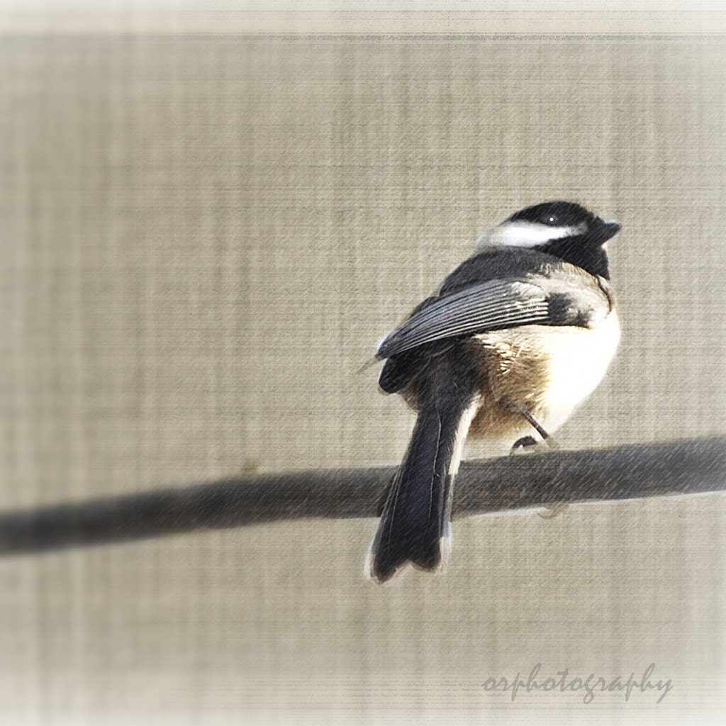 chickadeedeedee, a feathered friend fine art photograph. 8x8