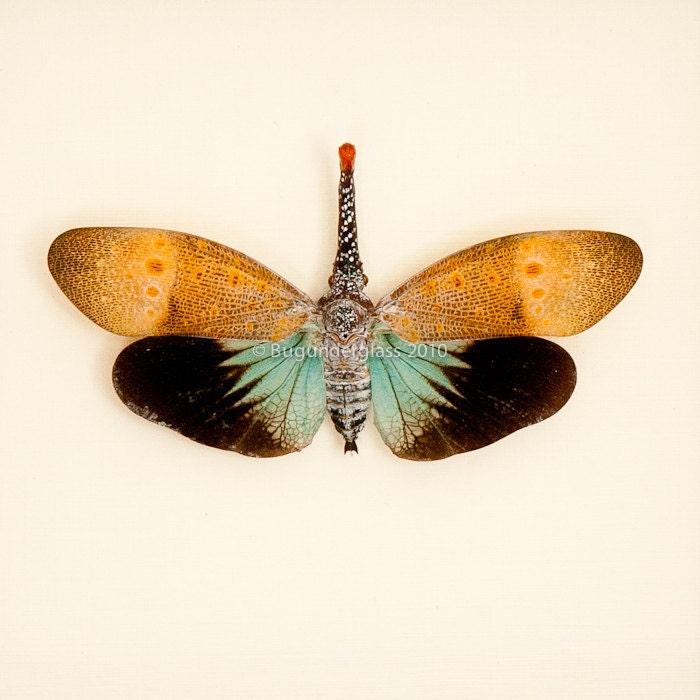 Framed Lanternfly Insect Display Pyrops pyrorhyncha - BugUnderGlass