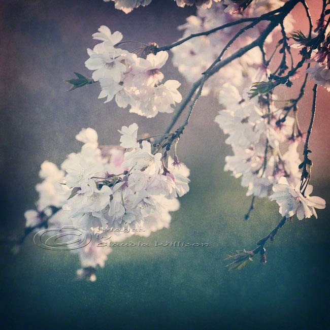 springtime blossoms of cherry tree in filtered light photo