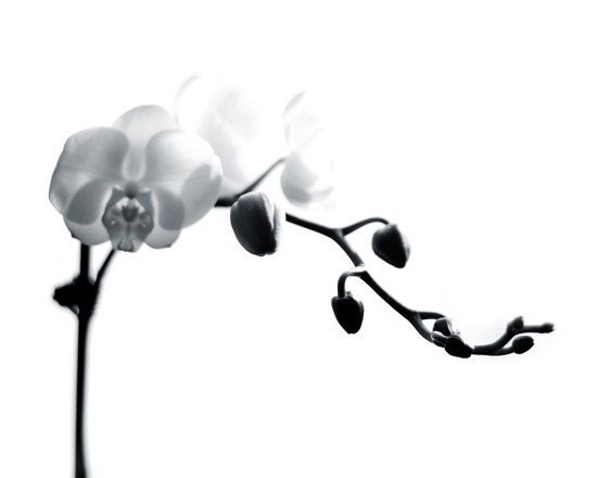 Orchid 8x10 Black and White Print