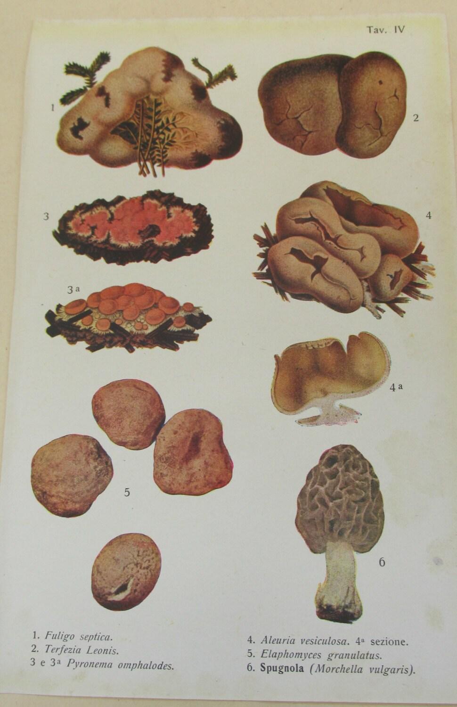 Antique 19th Century Italian Botanical Coloured Book Plate  Fungi  Ideal For Framing  IV