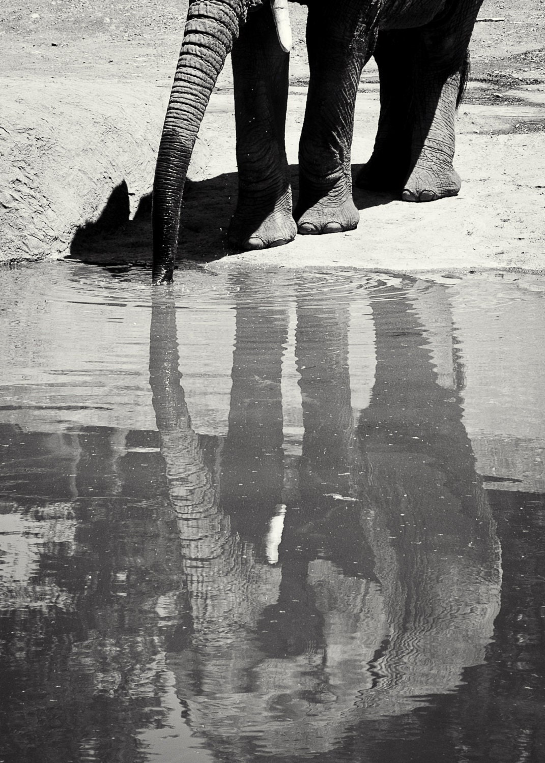 elephant reflection, black and white