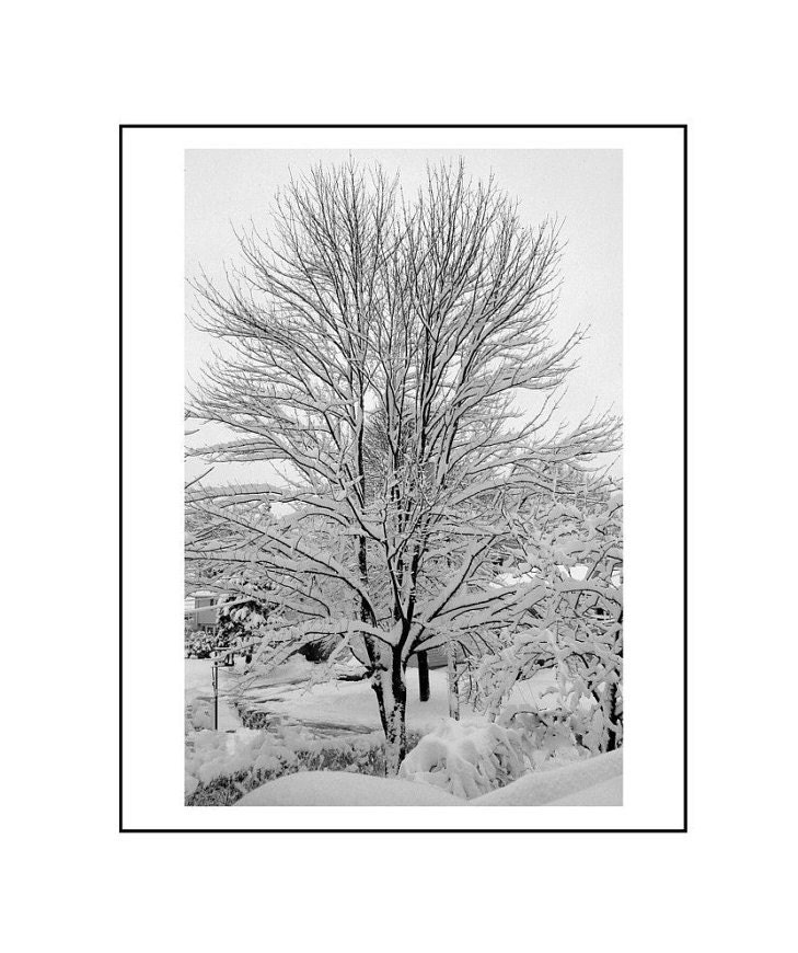 Snowy Maple Tree , Black and White, 8 x 10 Fine Art Photograph, Portland, Maine,  Winter, The Maine View