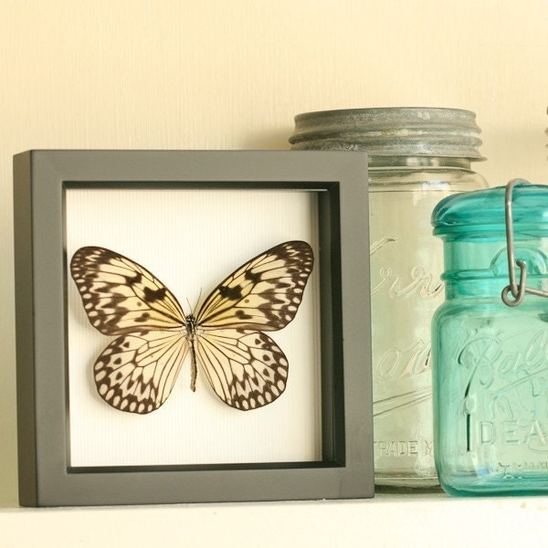 Rice  Paper Butterfly Framed Display - idea leuconoe