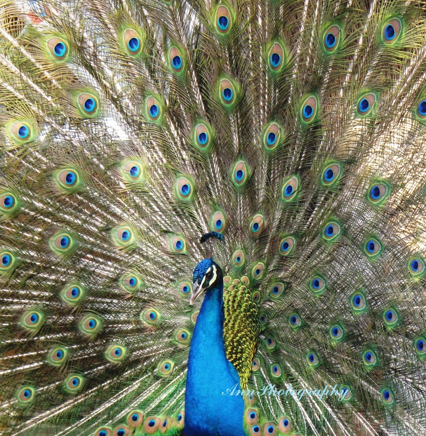 Peacock photographywall art home decor greeting by for Home decorations peacock