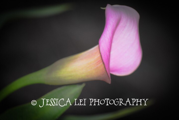 A Calla Lily - An 8x10 Photographic Art Print - Spring Bulb Collection