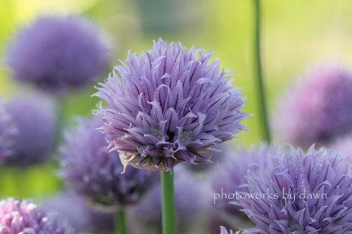Lavender and Lime 3 - 8x10 Fine Art Photograph of chive flowers