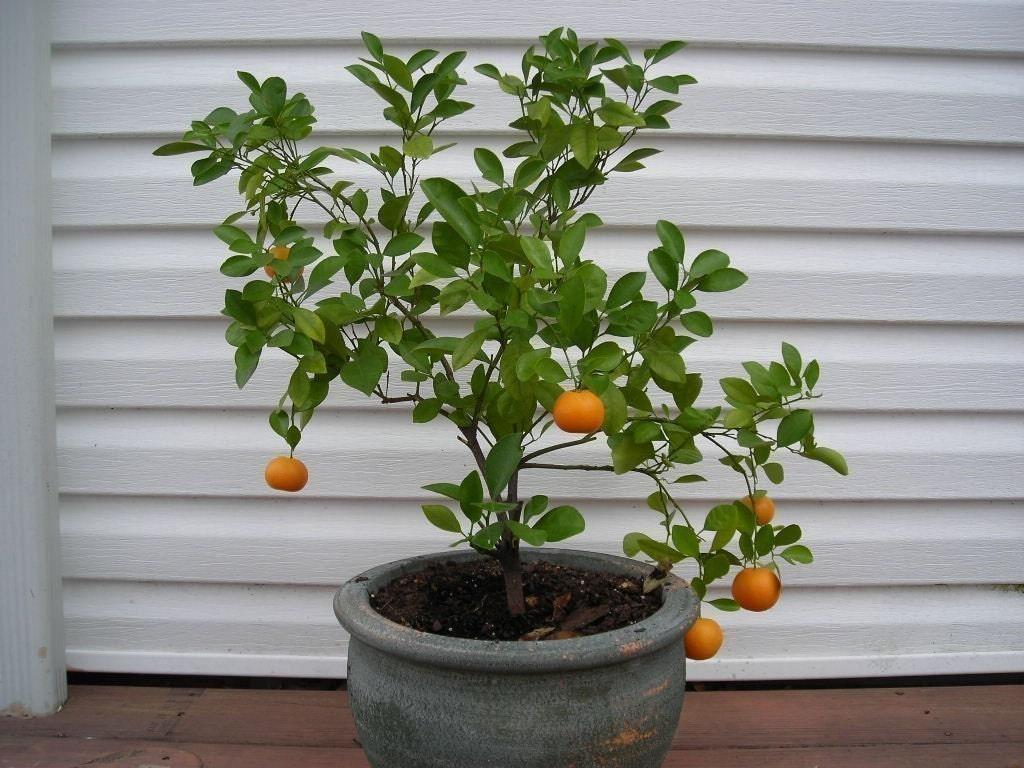 Grow an Indoor Citrus Tree Kit - Valencian Orange Tree Seeds