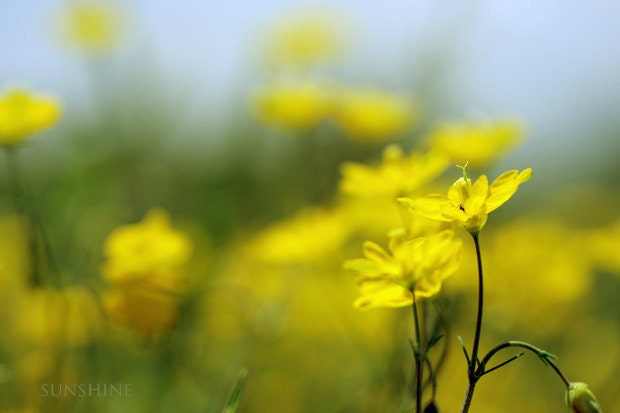 Nature photography - Wild flowers Fine art photograph bright yellow lime peridot green blue surreal affordable home decor - sunshineartdesign