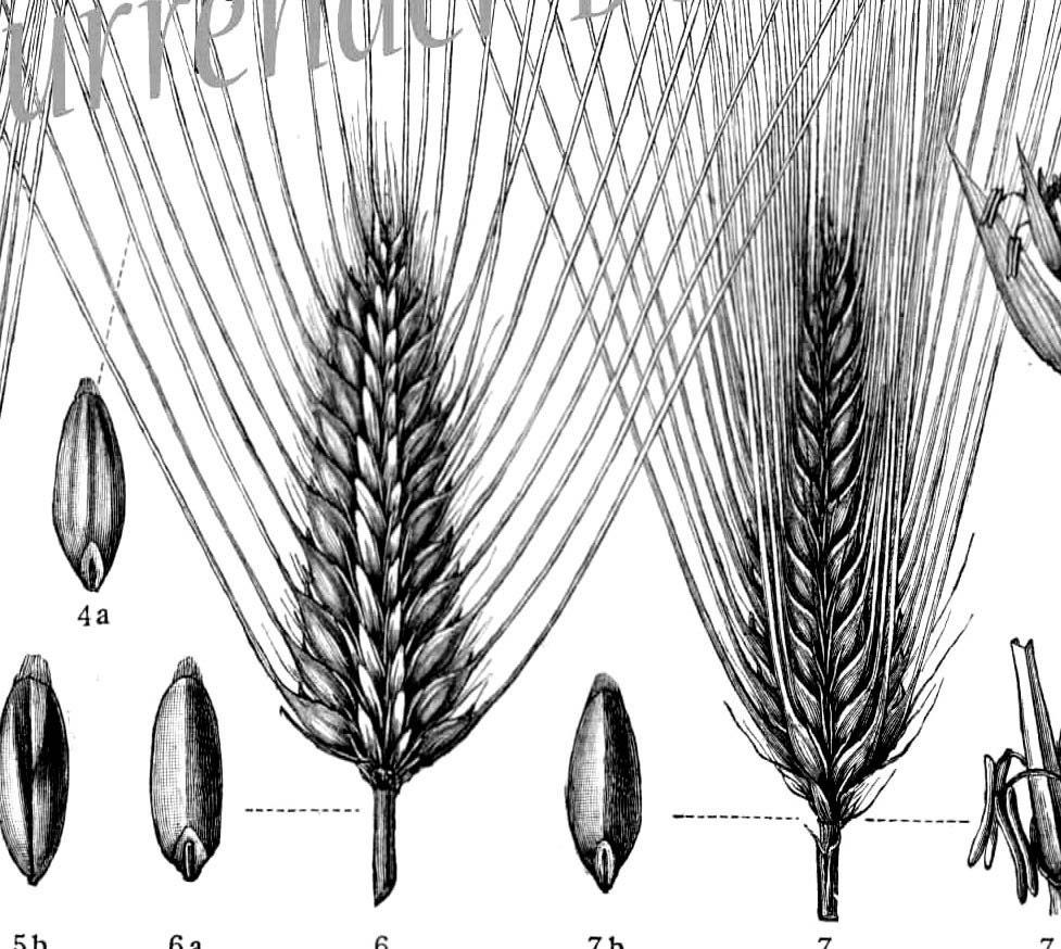 amp  Wheat Grasses Ancient To Modern 1907 Vintage Edwardian Botanical    Wheat Botanical Illustration