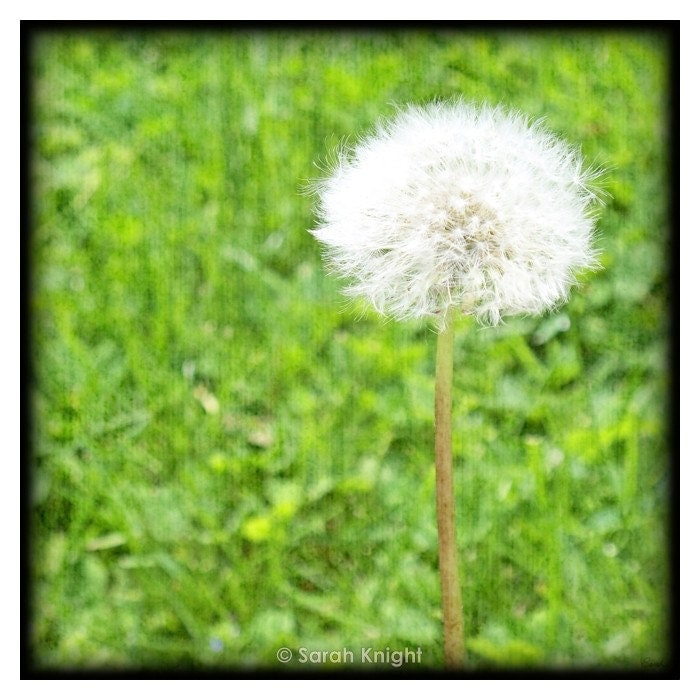 dandelion, photo 8X8 square print by Sarah Knight