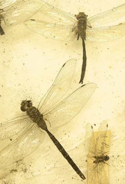 dragonflies on a yellow background