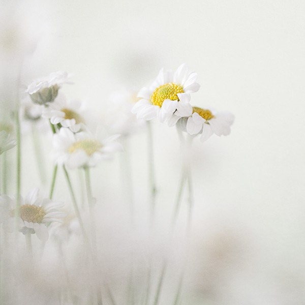 Secret Garden - Flower Photography, Spring, Minimal, Modern, Pale White and Yellow, Feminine, Dreamy, Nature, Daisies Print - EyePoetryPhotography