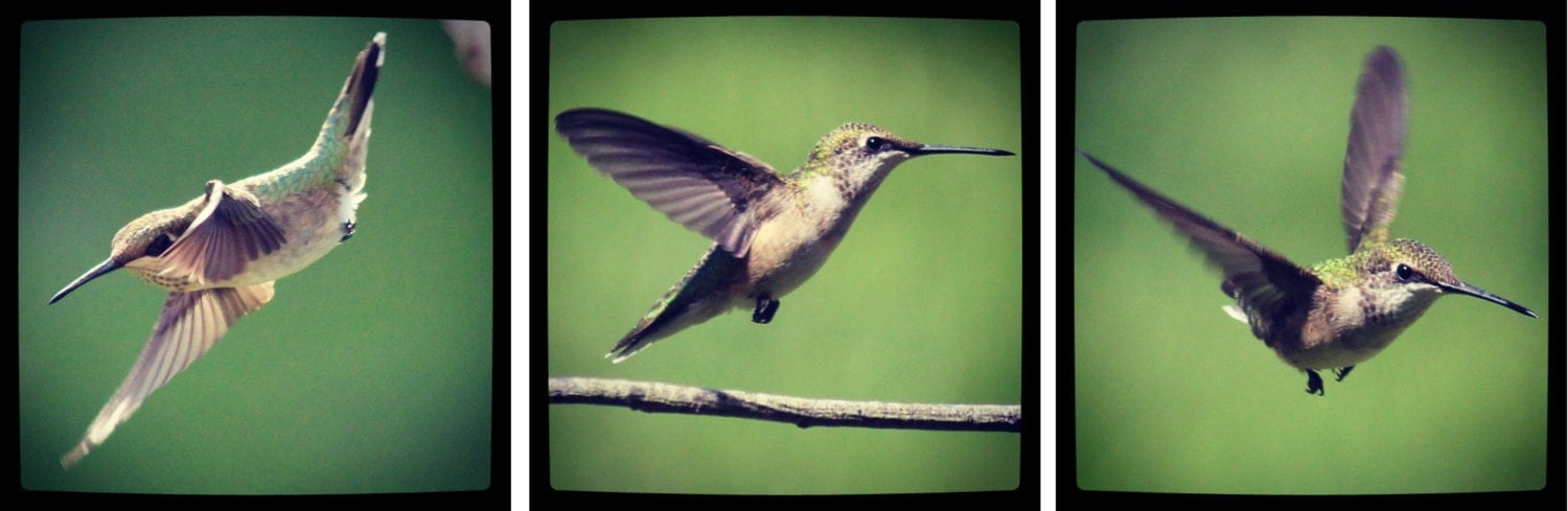 Happy Hummingbirds - Nature Photo Wall Art...Three Image Set - OberleighImages