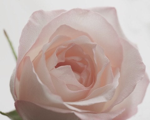 Breathe.... soft pink rose fine art flower photo by leapinggazelle