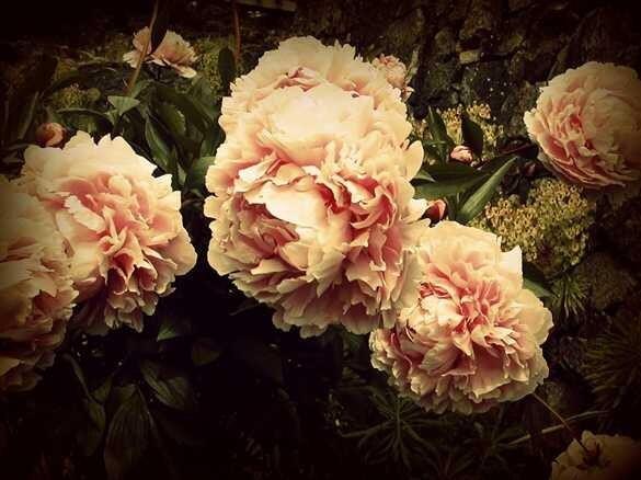 Peony Blossoms 8x10 Fine Art Photograph