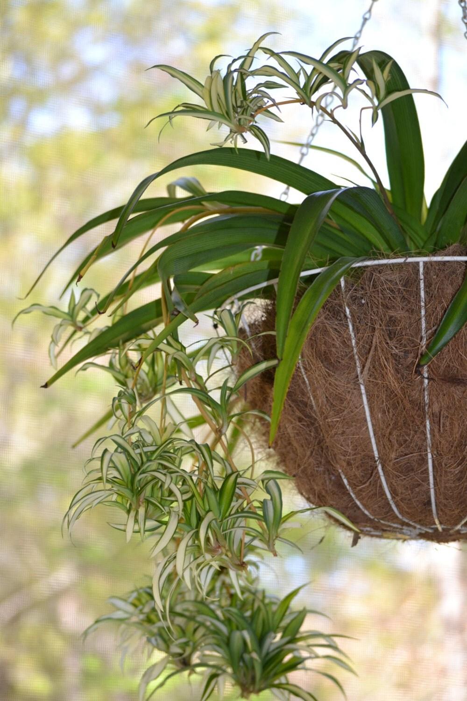 variegated spider plant babies sale green by beneaththemagnolia. Black Bedroom Furniture Sets. Home Design Ideas