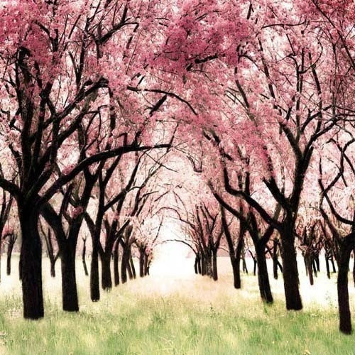 Wonderland - a girlie girly girl gift idea. for her. feminine. a whimsical pink cherry blossom orchard photograph - fine art nature enlargement for a nursery - Think Pink - 12x12 Metallic Print