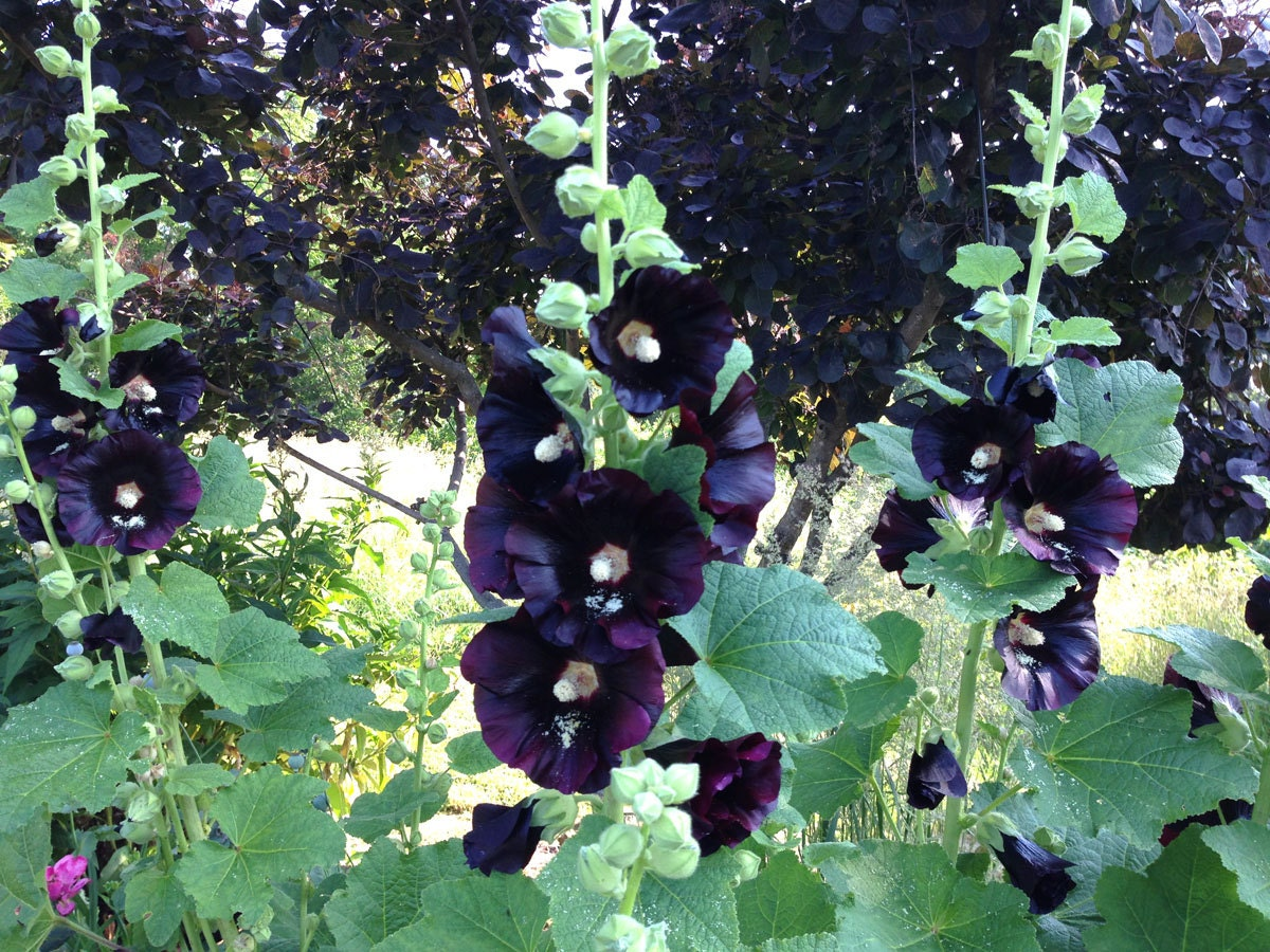 Old fashioned hollyhock seeds