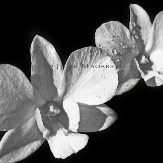 Black White Flower Photo -Wedding Orchid -12x12 Square Photograph