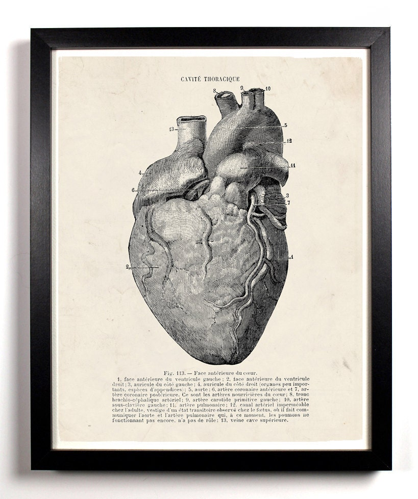 Human heart anatomy vintage - photo#6