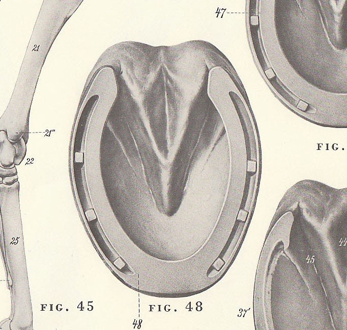 Anatomy of horse hoof and leg