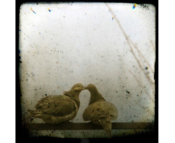love birds kissing wallpaper. images of love birds kissing. two love birds kissing.